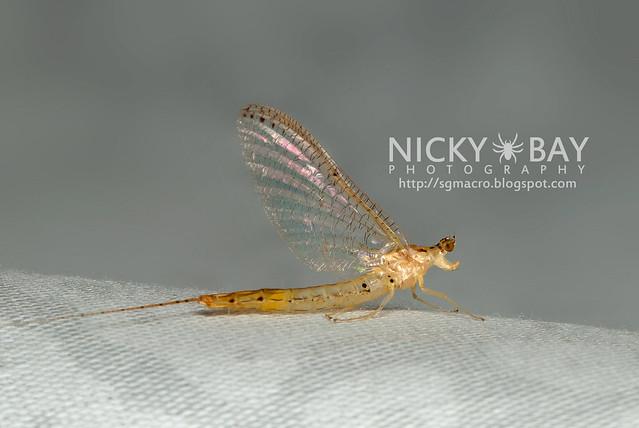 Mayfly (Ephemeroptera) - DSC_3867