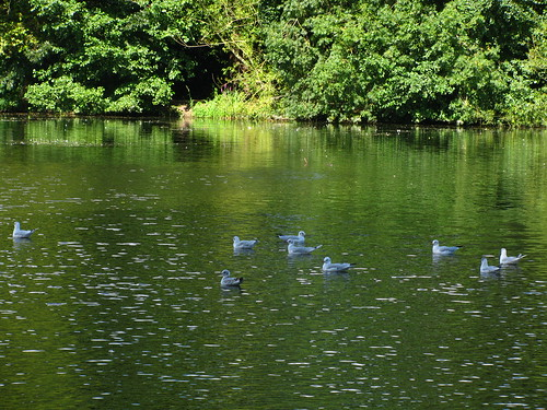 Gulls on Green Water
