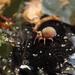 Sminthurides aquaticus