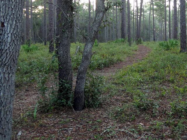 Ocala NF trail