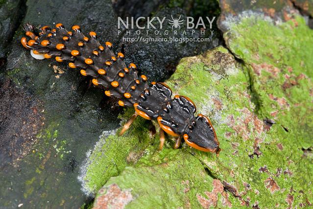 Trilobite Beetle (Duliticola sp.) - DSC_7463