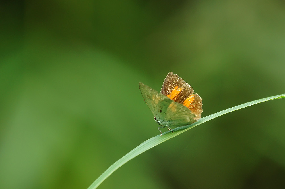 銀斑小灰蝶-2
