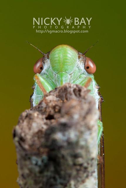 Cicada (Cicadidae) - DSC_6671