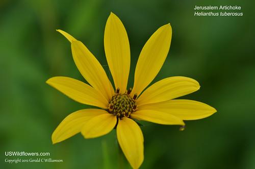 Jerusalem Artichoke, Jerusalem Sunflower, Sunchoke, Girasole - Helianthus tuberosus