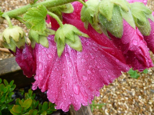 Raindrops on the Hollyhock
