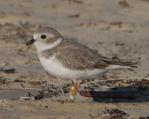 Banded Piping Plover - 1