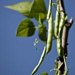 Freshest Green Beans