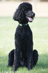 puppy(0.0), schnoodle(0.0), boykin spaniel(0.0), pumi(0.0), lagotto romagnolo(0.0), poodle crossbreed(0.0), cockapoo(0.0), portuguese water dog(0.0), spanish water dog(0.0), barbet(0.0), toy poodle(1.0), miniature poodle(1.0), standard poodle(1.0), dog breed(1.0), animal(1.0), dog(1.0), curly coated retriever(1.0), pet(1.0), irish water spaniel(1.0), poodle(1.0), american water spaniel(1.0), carnivoran(1.0),