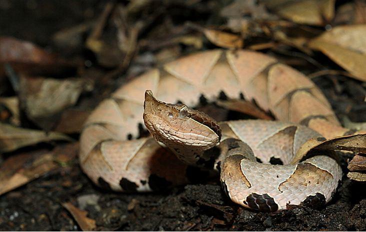 百步蛇是台灣山林裡的美麗物種,也存在許多原住民的傳說裡。