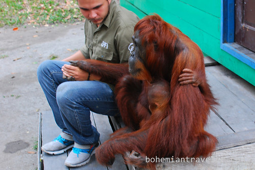 orangutan with Frederick at Tanjung Putting National Park Indonesia (2)