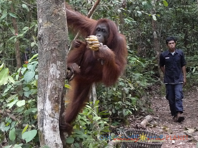 Orangutan World, Tanjung Puting Borneo Adventure-194.jpg