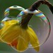 Daffodil Day - in a bubble