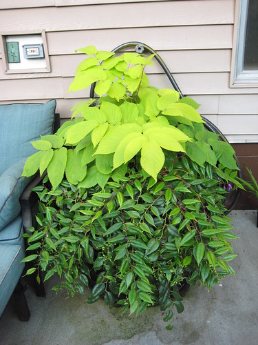 Aralia Sun King with Leucothoe
