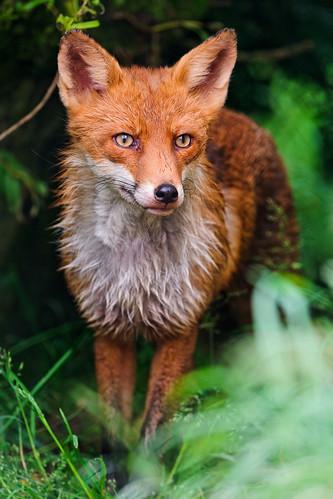 [フリー画像素材] 動物 1, 狐・キツネ ID:201209061000