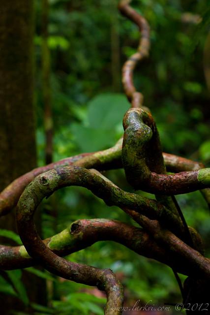 Vines, Manuel Antonio National Park, Costa Rica, 2012