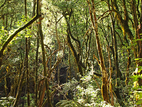 Rainforest, Garajonay National Park, La Gomera