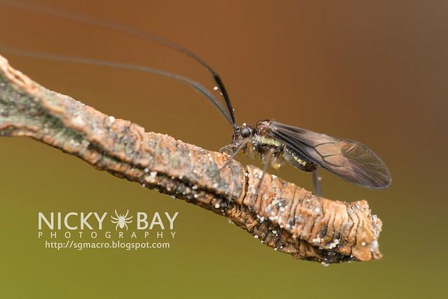 Barklouse (Psocoptera) - DSC_4791