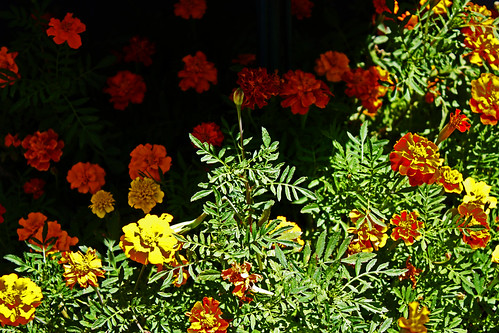 Yin~Yang 陰陽 Multicolored Marigolds