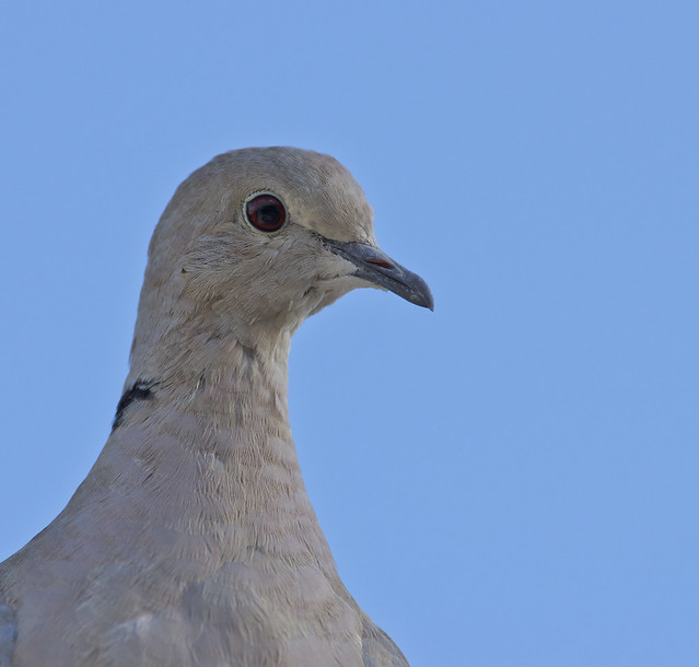 collared dove-2