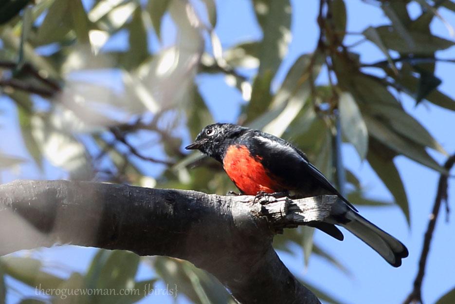 090212_04_bird_pass_paintedRedstart