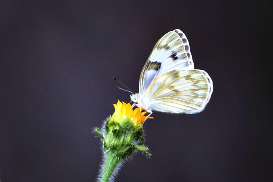 090312_02_butterfly_springWhite