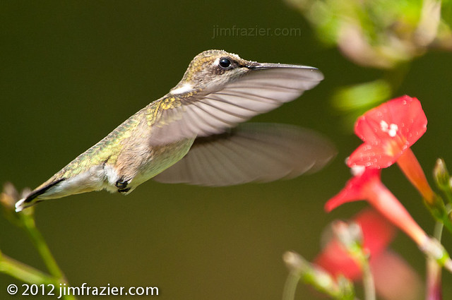 Ruby-throated Hummingbird and Cardinal Vine