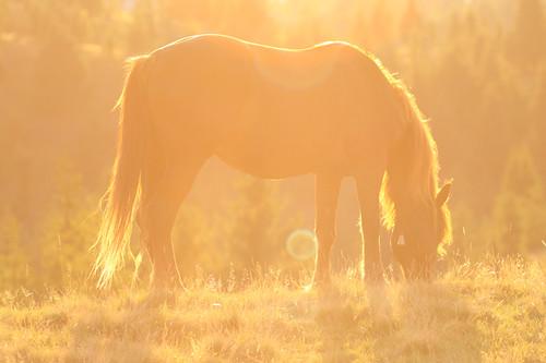 sunset horse sun canon romania transylvania transilvania cluj canonef70200mmf28lusm ardeal belis canoneos50d canon50d mygearandme mygearandmepremium mygearandmebronze mygearandmesilver mygearandmegold mygearandmeplatinum mygearandmediamond