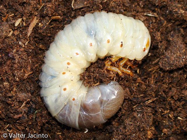Larva de Escaravelho // Rhinoceros Beetle larva (Oryctes nasicornis ...