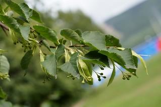 Tilia amurensis (Amur linden, Липа амурская)