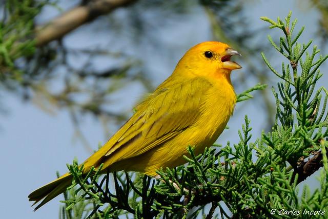 Canário da Terra Verdadeiro macho (Saffron Finch male)