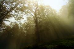 [フリー画像素材] 自然風景, 森林, 樹木, 薄明光線, 風景 - アメリカ合衆国 ID:201209291200