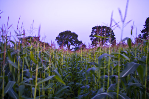 Sweet Corn, Siddington, Cheshire