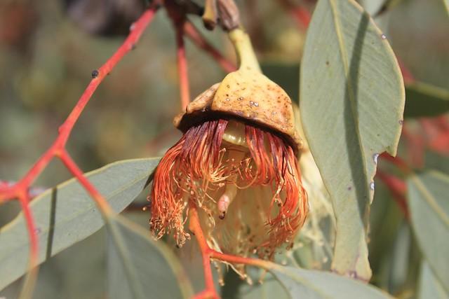 Eucalyptus kinsgmillii