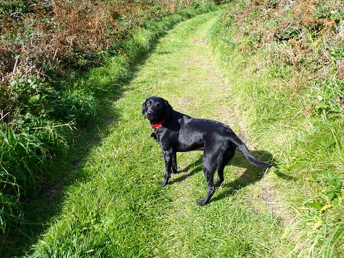 black Labrador, Blue, walking on path