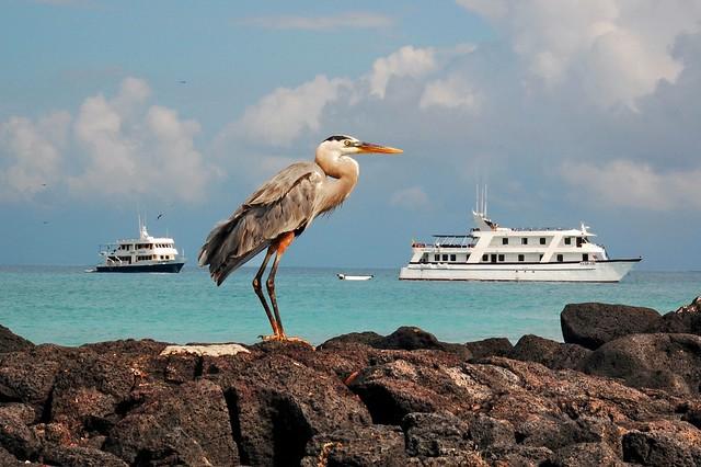 Garza azulada en las islas Galápagos