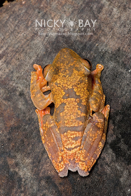 Harlequin Flying Frog (Rhacophorus pardalis) - DSC_8911