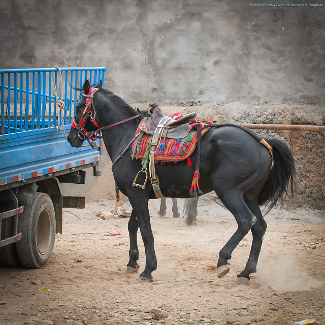 Horse waiting for a test drive inside the Sunday Livestock Market in Kashgar