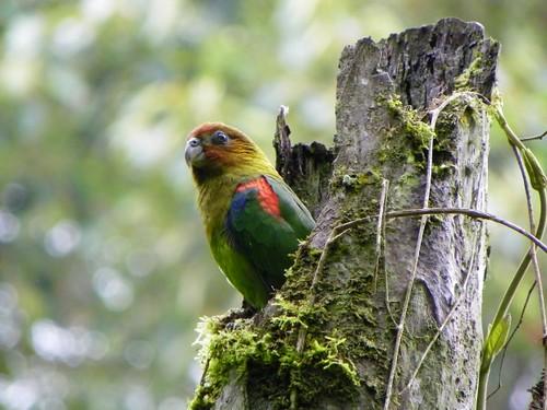 El loro multicolor es el ave emblema de Caldas - Loro Libre -