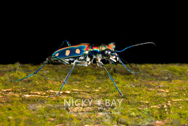Japanese Tiger Beetle (Cicindela aurulenta) - DSC_5142