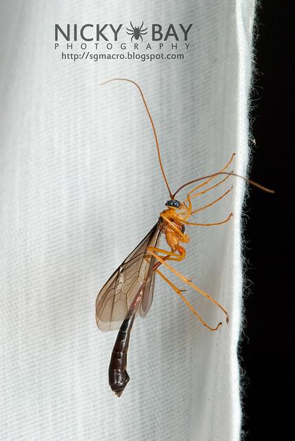 Ichneumon Wasp (Ichneumonidae) - DSC_6632