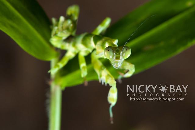 Banded Flower Mantis (Theopropus elegans) - DSC_3561