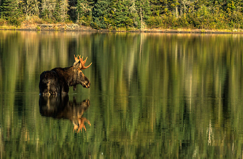 Moose Reflections