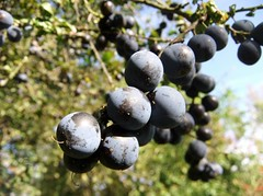 berry, branch, produce, fruit, food, prunus spinosa,