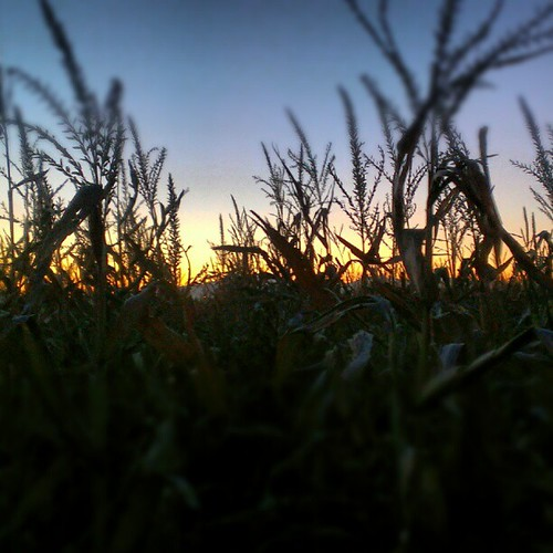 Corn maze at sunset.