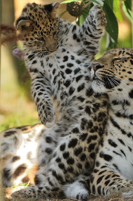 Amur Leopard Mother and Cub | Flickr - Photo Sharing!