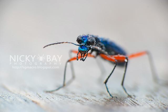 Tiger Beetle (Cicindelinae) - DSC_2409