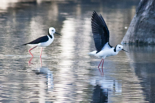 Black-inged Stilt