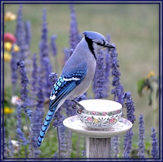 Blue Jay...Letting me know the cup is empty of peanuts.