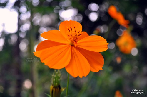 Flower  by Jidhu Jose