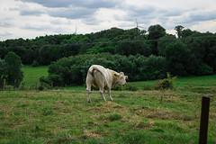 Twerking cow